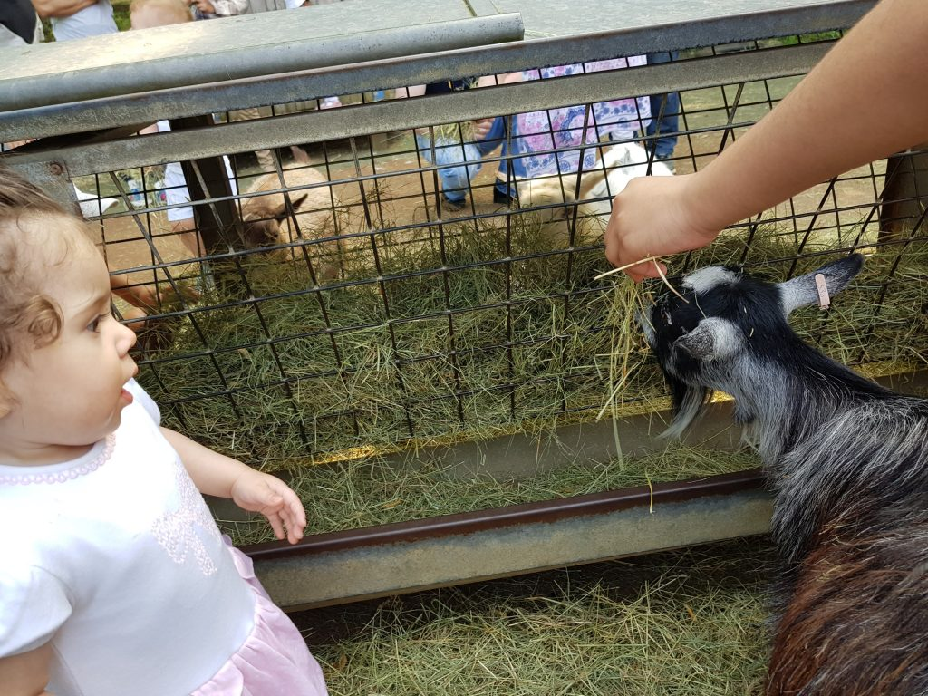 baby toddler with goat petting zoo animals at london zoo